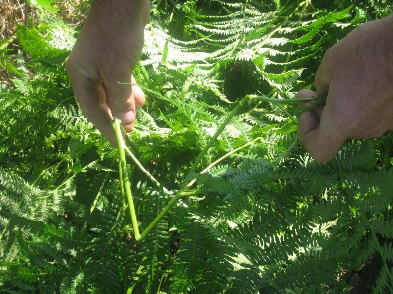 Les tiges sont brisées (et non pas coupées) pour obliger la plante à puiser dans ses réserves