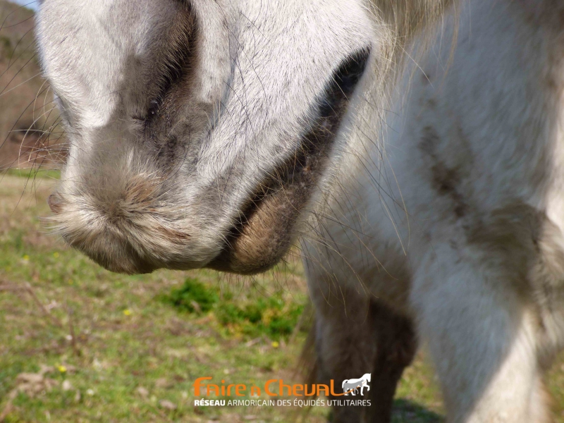 Le poney a développé une moustache protectrice pour broûter l'ajonc