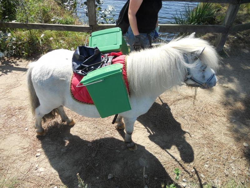 Boris, poney shetland bâté avec des corbeilles de propreté