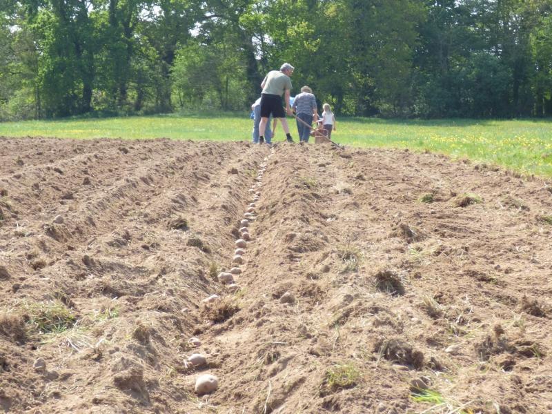 Plantation manuelle des pommes de terre germées