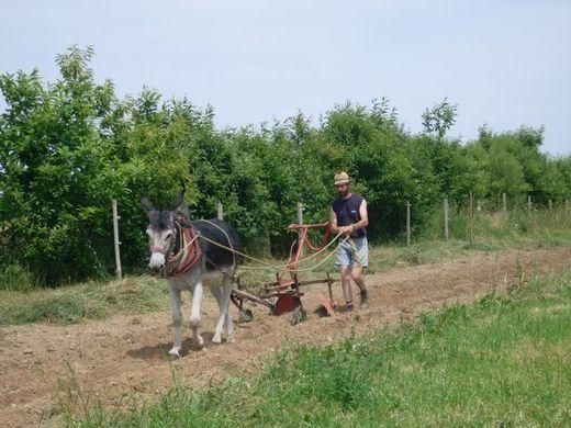 Dominique Bourdon au travail avec un âne